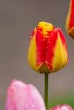 denröda tulpan efter regn med regn tappar närbild Arkivfoto
