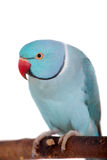 Denringed eller cirkel-hånglade parakiter på vit fotografering för bildbyråer
