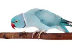 Denringed eller cirkel-hånglade parakiter på vit arkivfoton