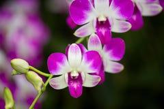 Denrobium eastern vigour orchid hubrid flower.  Royalty Free Stock Image