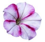 denrosa färger petuniablomman på vit isolerade bakgrund med den snabba banan inga skuggor closeup Royaltyfria Foton