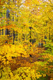 Dense autumn forest foliage Royalty Free Stock Image