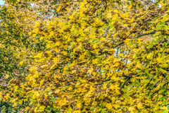 Dense autumn leaves on the maple trees. Natural vegetable background with yellowing leafs stock image