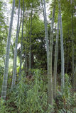 Bamboo, bamboo leaves Stock Photography