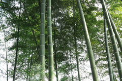 Bamboo, bamboo leaves Royalty Free Stock Image
