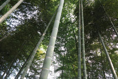Bamboo, bamboo leaves Stock Image