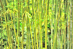 Dense bamboo forest Stock Photography