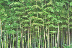 Dense bamboo forest background Royalty Free Stock Photo