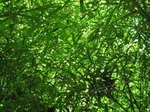 Dense bamboo leaf foliage Stock Image
