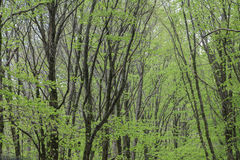 Dense beech forest Royalty Free Stock Photo