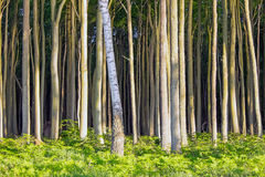 Dense beech tree forest Royalty Free Stock Images