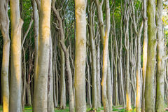 Dense beech tree forest Royalty Free Stock Photo