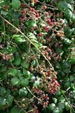Dense blackberry fruit. Ripe unripe and ripening blackberry fruits on thorny branches stock image