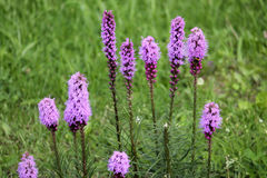 Dense blazing star flowers or Liatris spicata. On green background stock image