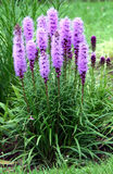 Dense blazing star perennial Stock Photo