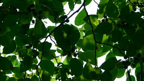 The dense branches foliage covered sky,sunlight through leaves. stock video
