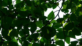 The dense branches foliage covered sky,sunlight through leaves. stock video footage