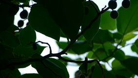 The dense branches foliage & fruit covered sky,sunlight through leaves. stock footage