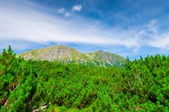 dense branches of the pine and the top Royalty Free Stock Images