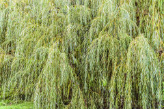 Dense branches of a weeping willow tree. Natural green background Stock Photos