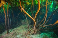 Dense brown kelp stalks royalty free stock photo