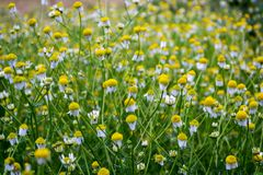 Dense bushes of chamomile with white flowers in the garden. Matricaria chamomilla.  stock image