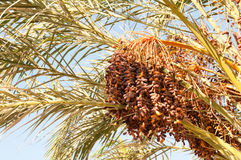 Dense Cluster of Date Fruits on a Palm Tree Royalty Free Stock Image