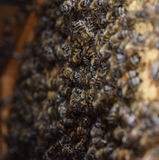 A dense cluster of swarms of bees in the nest. Working bees, drones and uterus in a swarm of bees. Honey bee. Accumulation of inse. Cts royalty free stock photography