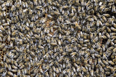 A dense cluster of swarms of bees in the nest. Working bees, drones and uterus in a swarm of bees. Honey bee. Accumulation of inse. Cts stock images