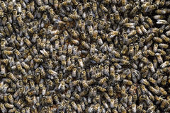 A dense cluster of swarms of bees in the nest. Working bees, drones and uterus in a swarm of bees. Honey bee. Accumulation of inse. Cts royalty free stock photos