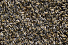 A dense cluster of swarms of bees in the nest. Working bees, drones and uterus in a swarm of bees. Honey bee. Accumulation of inse Royalty Free Stock Images
