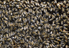 A dense cluster of swarms of bees in the nest. Working bees, drones and uterus in a swarm of bees. Honey bee. Accumulation of inse. Cts stock photography