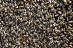 A dense cluster of swarms of bees in the nest. Working bees, drones and uterus in a swarm of bees. Honey bee. Accumulation of inse. Cts royalty free stock images