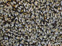 A dense cluster of swarms of bees in the nest. Working bees, drones and uterus in a swarm of bees. Honey bee. Accumulation of inse. Cts royalty free stock image