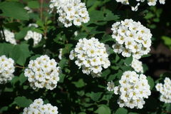 Dense clusters of white flowers of spirea. In spring Royalty Free Stock Photography
