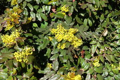 Dense clusters of yellow flowers of Oregon grape in spring. Dense clusters of yellow flowers of Oregon grape in early spring royalty free stock images