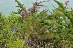 Dense conifer tree branches Stock Photo