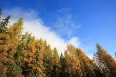 Dense coniferous autumn mountain forest background� Stock Images
