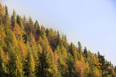 Dense coniferous autumn mountain forest Stock Images