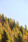 Dense coniferous autumn mountain forest Royalty Free Stock Images