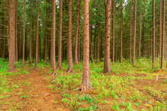 Dense coniferous forest photographed Stock Image
