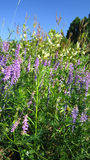 Dense cow vetch thicket Royalty Free Stock Photos