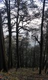 Dense Dark Trees in Forest royalty free stock photography