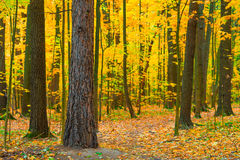 Dense deciduous forest Royalty Free Stock Images