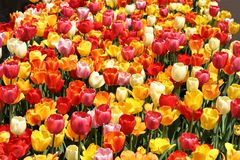 Dense field of Red, Orange, Yellow, Orange, Pink and White Tulips royalty free stock photos