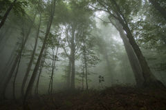 Dense fog in the beechen wood Stock Photo