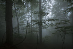 Dense fog in the beechen wood Royalty Free Stock Image