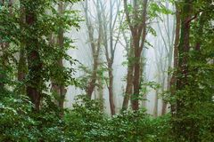 Dense fog in the forest. Mysterious atmosphere in the woods. Through the fog, trees are viewed_. Dense fog in the forest. Mysterious atmosphere in the woods royalty free stock images