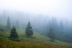Dense fog in the mountains, Spruce in the mist Stock Photos