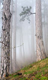 Dense fog in summer pine forest Royalty Free Stock Photography